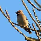 Waxwing by Angela Harburn