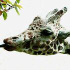 Giraffe by Gaby Swanson  Photography