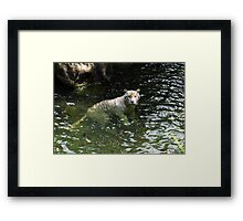 White tiger takes a swim Framed Print