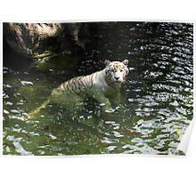 White tiger takes a swim Poster