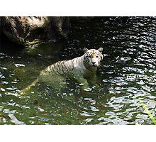 White tiger takes a swim Photographic Print