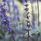 Lavender by Isabelle Lafrance