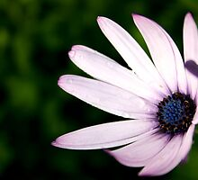 The African Daisy by Dignitarium