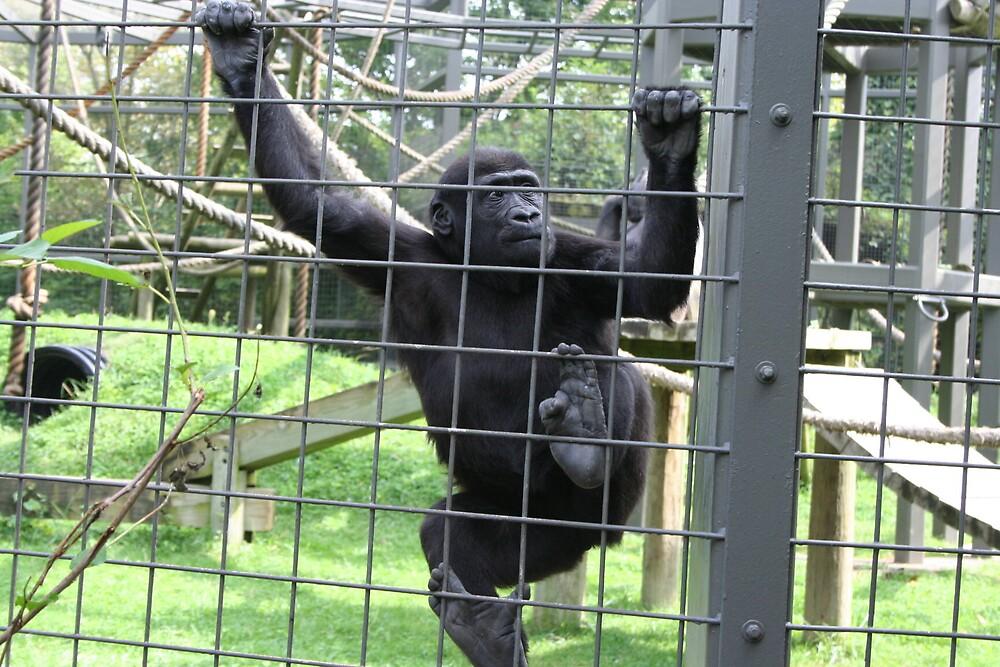 Gorilla by natnvinmom