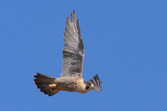 Peregrine Falcon  by tomryan