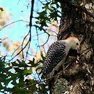 Red-bellied Woodpecker by Tate6