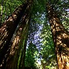 Redwoods by Dennis Begnoche Jr.