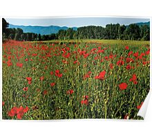 Poppy fields Poster