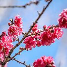 Pink Blossoms Against a Blue Sky by Chloe Garfield