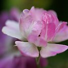 mystery rose, pink blossom by picketty