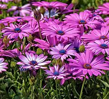 Osteospermum by PhotosByHealy