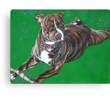 'Chaos' - The Staffordshire Bull Terrier Canvas Print