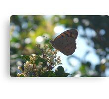 Common Brown Butterfly, Heteronympha merope Canvas Print