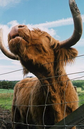 Hamish the Highland Coo by SarahCook
