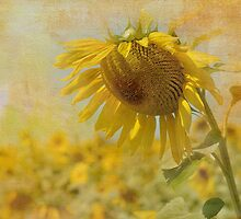 Sunflower  by Shelly Van Camp