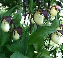 White Lady Slippers Clump by SmilinEyes