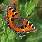 Small Tortoiseshell Butterfly by Robert Abraham