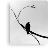 V is for Vulture Canvas Print
