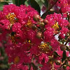 Crape Myrtle with Buds by Anna Lisa Yoder