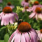 Bumblebee on Echinacea by Anna Lisa Yoder