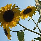 Sunflower Heads from Below by Anna Lisa Yoder