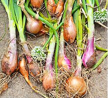Just Onions by Sue H