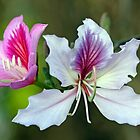 Flowers of the Hong Kong Orchid Tree - (Venice Florida) by T.J. Martin
