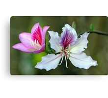 Flowers of the Hong Kong Orchid Tree - (Venice Florida) Canvas Print