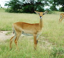 Grants Gazelle Murchison Falls National  Park Uganda by thesmiff