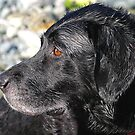 Sweep ( Spaniel /Lab cross ) by SWEEPER