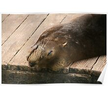 Seal resting Poster