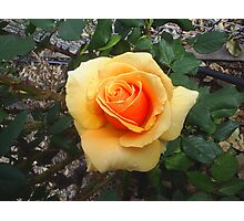Grandmas Rose Photographic Print