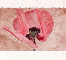 Papaver by John Edwards
