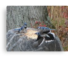 Battle of the Blue Jays Canvas Print