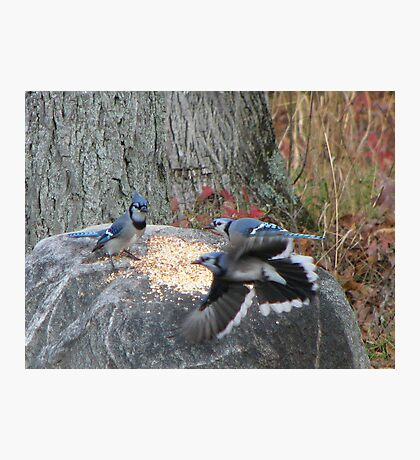 Battle of the Blue Jays Photographic Print