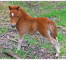 Two Week Old Miniature Pony Foal Photographic Print