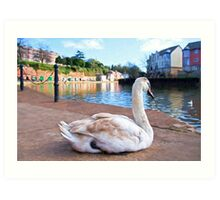 Young Adult Swan - Impressions Art Print