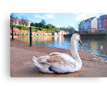 Young Adult Swan - Impressions Metal Print
