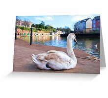 Young Adult Swan - Impressions Greeting Card