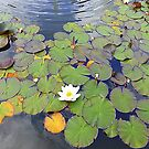 The Water Lily by Fara