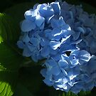 Blue Hydrangea Macrophylla by Anna Lisa Yoder