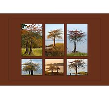 Cypress Trees in Fall Photographic Print