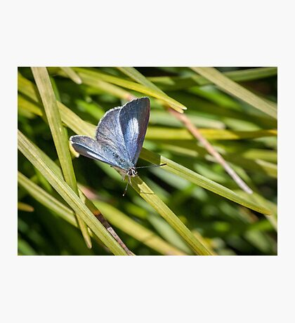 Pencilled Blue Butterfly at rest Photographic Print