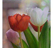 Two Tulips Photographic Print