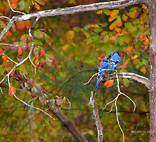 Cyanocitta Cristata - North American Blue Jay Couple Feeding Each Other | Middle Island, New York by © Sophie W. Smith