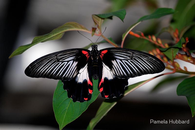 Black Beauty by Pamela Hubbard