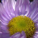 Pinnate-Leaved Daisy by Daniel Doyle