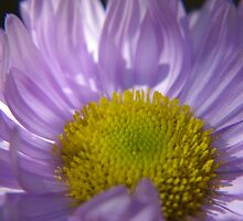 Pinnate-Leaved Daisy by Daniel Doyle