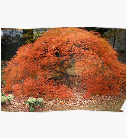 Japanese Red Maple Tree Poster