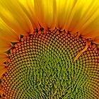 French sunflower by Gianatti6x7